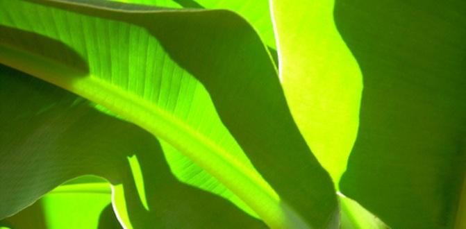 bananatree1