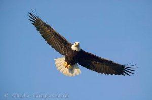 eagle-soaring