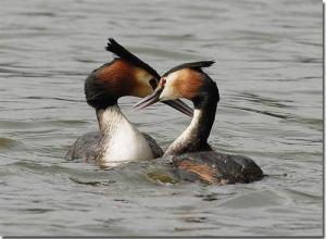 love-duck