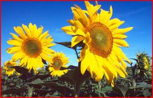 sunflowersfrance