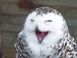 laughingowl