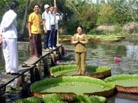 Loài sen kỳ lạ ở chùa Kiến Phước, xã Hòa Tân, Châu Thành, Đồng Tháp