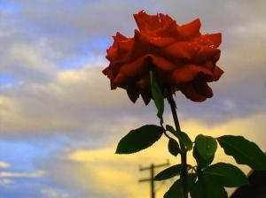 tall rose