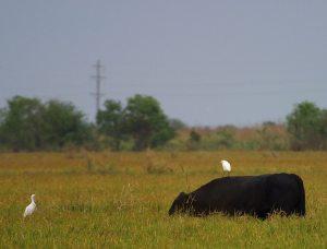 Cow & Egret