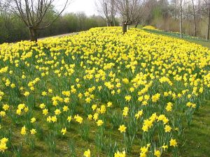 Daffodils.5jpeg