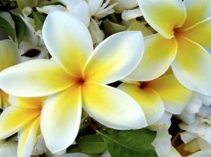 Hoa sứ, Dok Champa -- quốc hoa của Lào