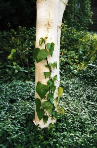 birch and ivy