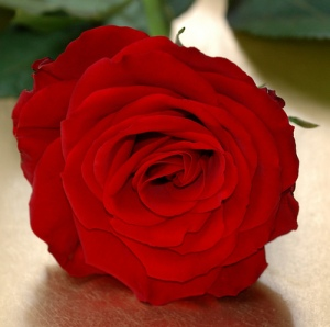 rose40