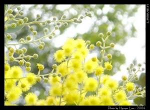 dalatmimosa2004_2
