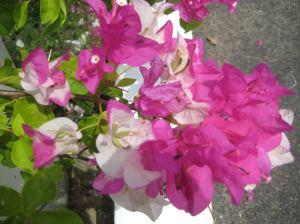 hoa giay