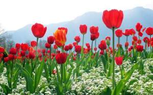Beautiful-Tulip-Flowers-Pictures-And-Wallpapers35