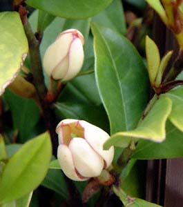 Hoa Hàm Tiếu