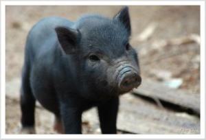 funny-black-pig