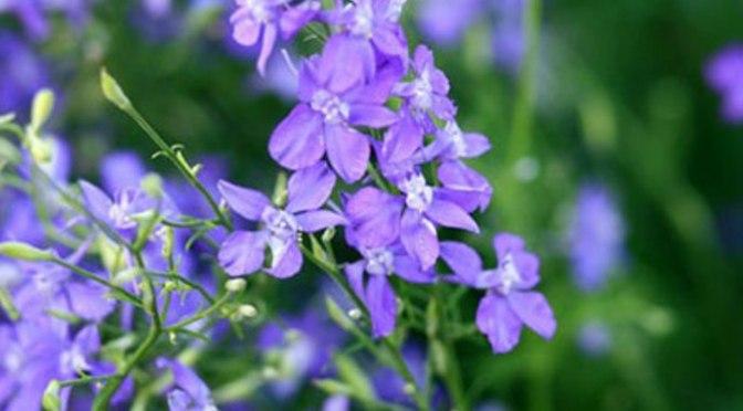 Hoa Violet ngày thứ Tư