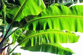 banana leaf benefits