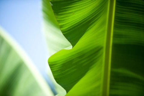 Banana-leaves