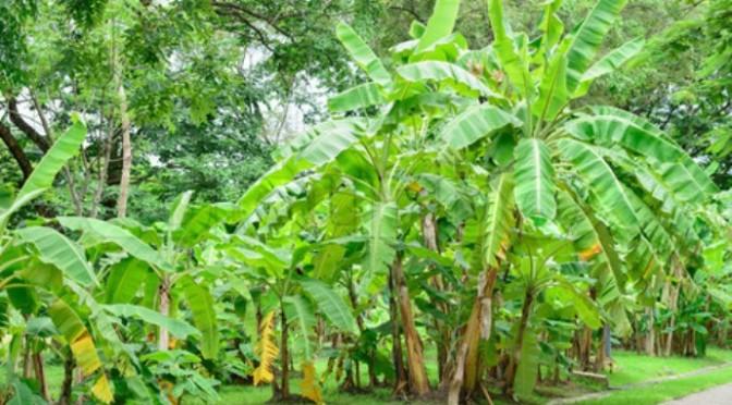 Vườn Chuối và những khu vườn bí mật