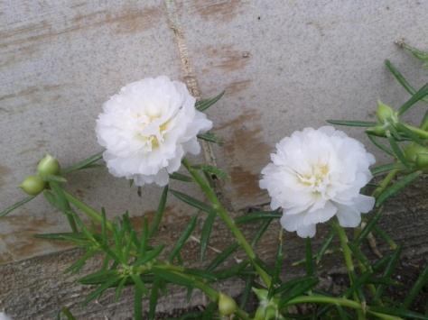 Hoa mười giờ trắng