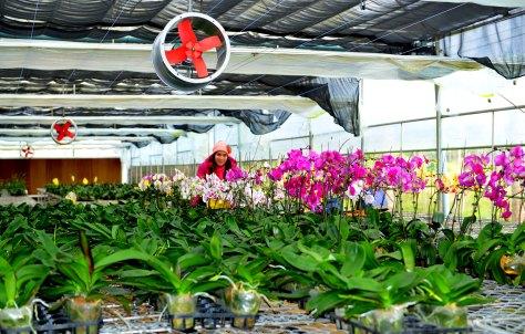 Trồng hoa trong nhà lưới ở Kon Plông- Kon Tum.