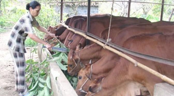 Có nhiều trâu, nhiều bò