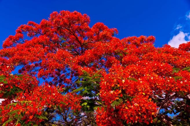 Royal poinciana tree (flame tree), Key West Cemetery, Key West, Florida Keys, Florida USA