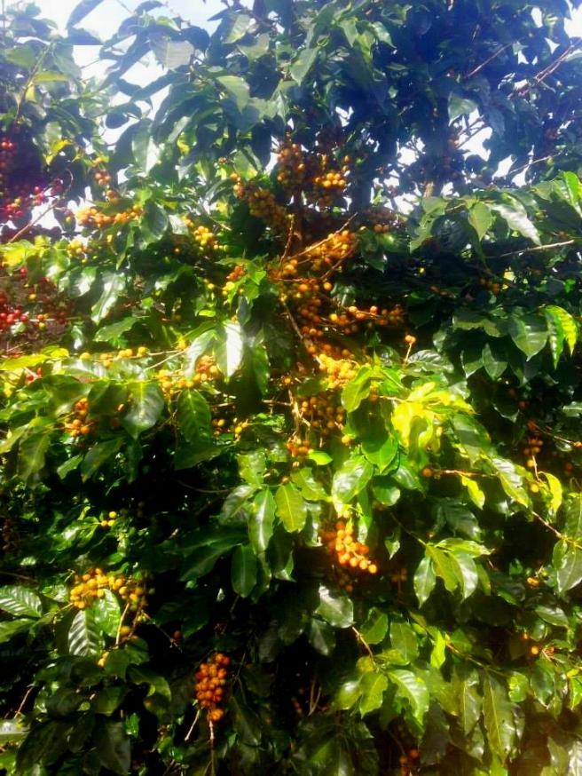 Moka chín vàng hiếm hoi xen lẫn giữa những cây Moka chín đỏ