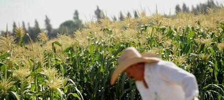 Công nhân Javier Alcantar chăm sóc vụ mùa ngô tại các cánh đồng thử nghiệm của Monsanto ở Woodland, California, Mỹ, vào ngày 10 tháng 8, năm 2012. Công ty Monsanto, một tập đoàn đa quốc gia về công nghệ sinh học nông nghiệp Mỹ, là nhà sản xuất dẫn đầu thế giới của các loại thuốc diệt cỏ glyphosate và là nhà sản suất lớn nhất của hạt giống biến đổi gen bằng kỹ thuật. PHOTO: Bloomberg