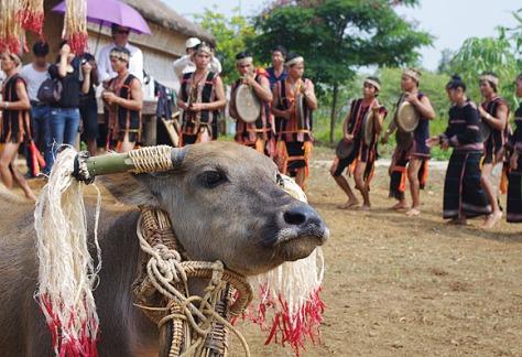 Trong lễ mừng nhà Rông mới không thể thiếu lễ đâm trâu.