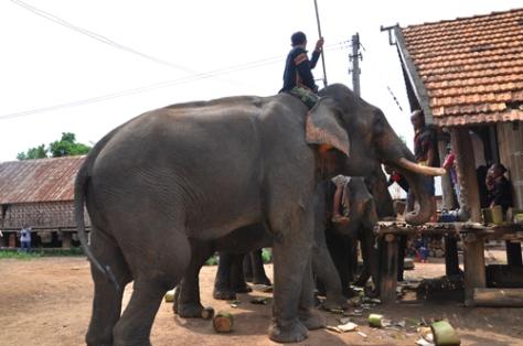 Nghi lễ cúng sức khỏe cho voi của người M'Nông.