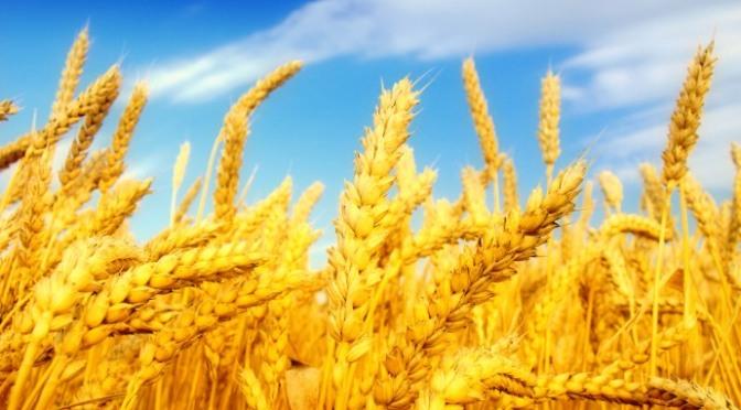 Khi một hạt lúa rơi xuống đất và chết