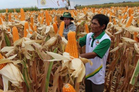 Bắp GMO đang được trồng tại Xuân Lộc, Đồng Nai