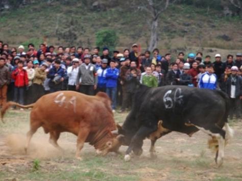 Chọi bò - dân tộc H'Mông.