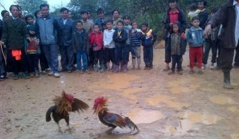 Người Ơ Đu tổ chức chọi gà vui tết Chăm Phtrong (ảnh Xuân Hòa).