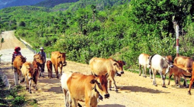 Cầu nguyện cho những con bò