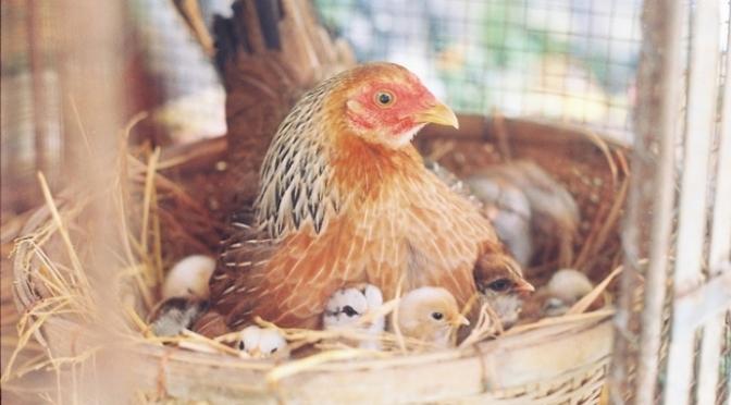 Con gà mái ấp