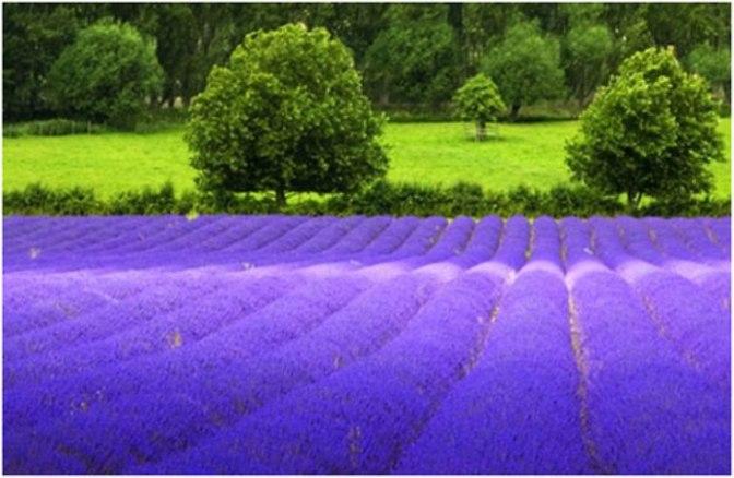 Lavender's Blue – Oải hương Xanh