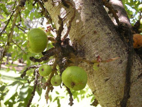 Trái Udambara (Ưu Đàm, trái sung)