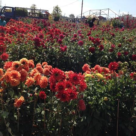 3/ Ảnh khu vực dành riếng bán hoa thược dược muôn màu rất đẹp, nhưng vắng tanh không có khách mua.