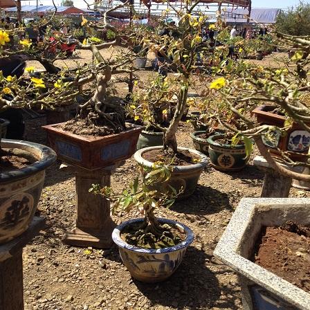 11/ Ảnh khu vực bán hoa mai lúc 10g00 sáng ngày 29 Tết cũng vắng tanh không có khách đến mua nhưnhững khu vực bán hoa khác trong chợ hoa Nguyễn Văn Cừ - Tp. Pleiku – Gialai.