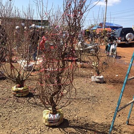 9/ Ảnh khu vực bán hoa đào cũng chỉ có người đi xem không thấy người mua.