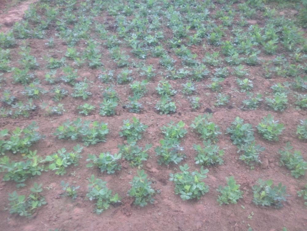 Luống đậu lạc được gieo theo cách truyền thống: cày đất và làm sạch cỏ (không phun thuốc diệt cỏ), bón phân chuồng.