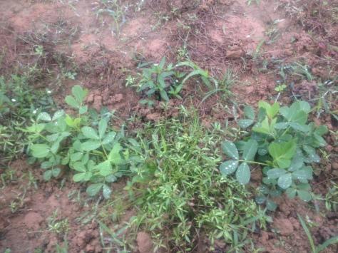 Luống này được gieo theo cách không cày đất, chỉ đào hố, bón phân chuồng và không làm sạch cỏ. Mục đích: không tác động nhiều lên hệ sinh thái tự nhiên. Luống này mình thấy có nhiều phân giun hơn và cây cũng lớn hơn một chút so với luống kia. Ảnh này mình chụp gần vì nếu chụp xa thì các bạn không nhận ra được đâu là cây cỏ, đâu là cây đậu.