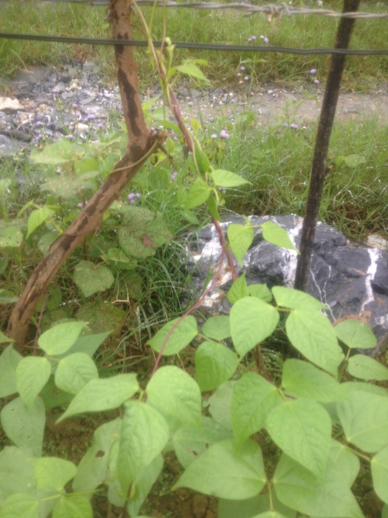 Những câu đậu được nhóm em trồng sát bờ rào. Bờ rào tạo thế để cây đậu bám và leo lên cao.