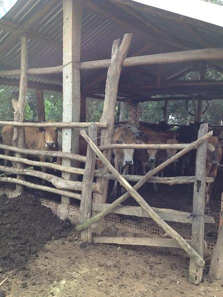 1/ Ảnh chuồng bò gia đình bố mẹ Thiếu bên xóm Đào.