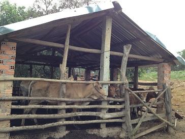 2/ Ảnh chuồng bò 30 con của gia đình bố mẹ Thiếu ở Xóm Đào
