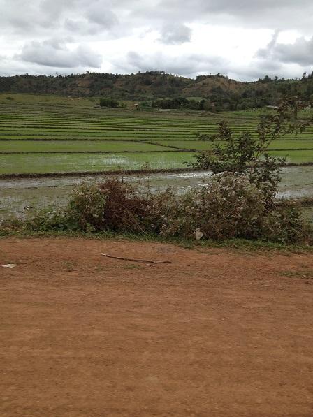 2/ Ảnh những đám ruộng mới được xạ lúa của anh em xóm Đào Buôn Hằng.
