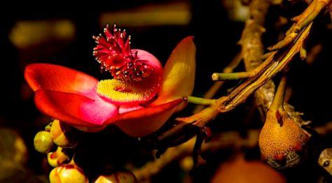 Hoa Sala Tĩch Lan (Hoa Đầu Lân)