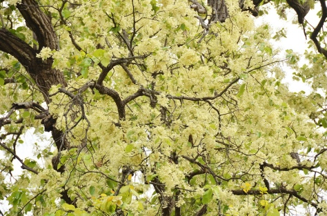 Tàn cây Hoa Sala Ấn Độ