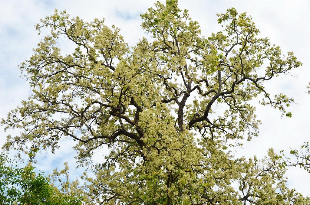 Cây Sala Ấn Độ