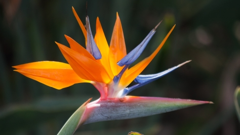 Bird-Of-Paradise-Flower